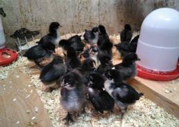 Pollitos recién nacidos del proyecto pio pio